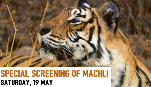Meet Machli, the World's Most Famous Tiger